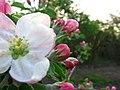 Kwiat jabłoni - panoramio.jpg