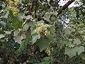 Kydia calycina - Ganeshgudi 06.JPG