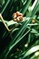 LILIUM Martagon, Fruit en déhiscence - Suisse (1).tif