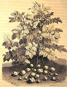 Histoire De La Pomme De Terre Wikipedia