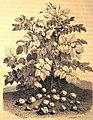 La pomme de terre et les tubercules féculents de ses racines - 1017039.jpg