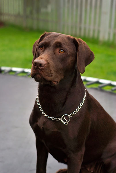 Plik:Labrador Retriever chocolate Hershey sit.jpg