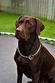Labrador Retriever chocolate Hershey sit.jpg