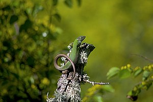 A Lacerta viridis, or European green lizard, atop a tree stump in the Ropotamo reserve