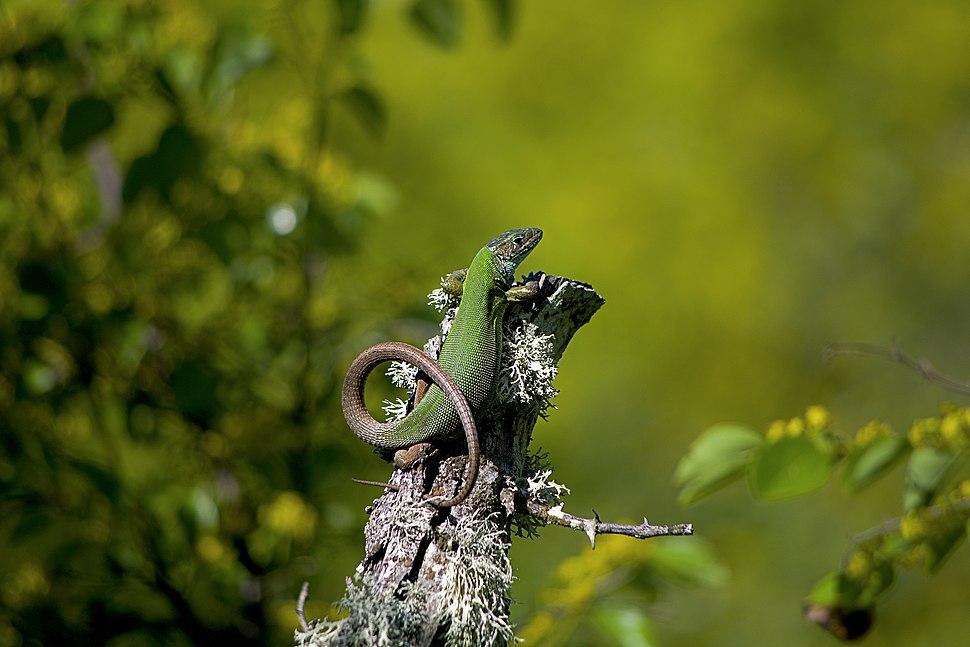 Lacerta viridis Зелен гущер