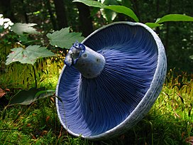 The underside of a circular mushroom cap, showing closely-spaced blue lines radiating from the central stem. The light blue mushroom stem is broken, and its torn flesh is colored a dark blue. In the background can be seen trees, mosses, and leaves of a forest.