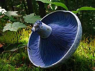 Lactarius indigo - The gills of L. indigo
