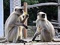 Langur monkeys 01 (5342738023).jpg