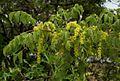 Lannea schweinfurthii var. tomentosa01.jpg