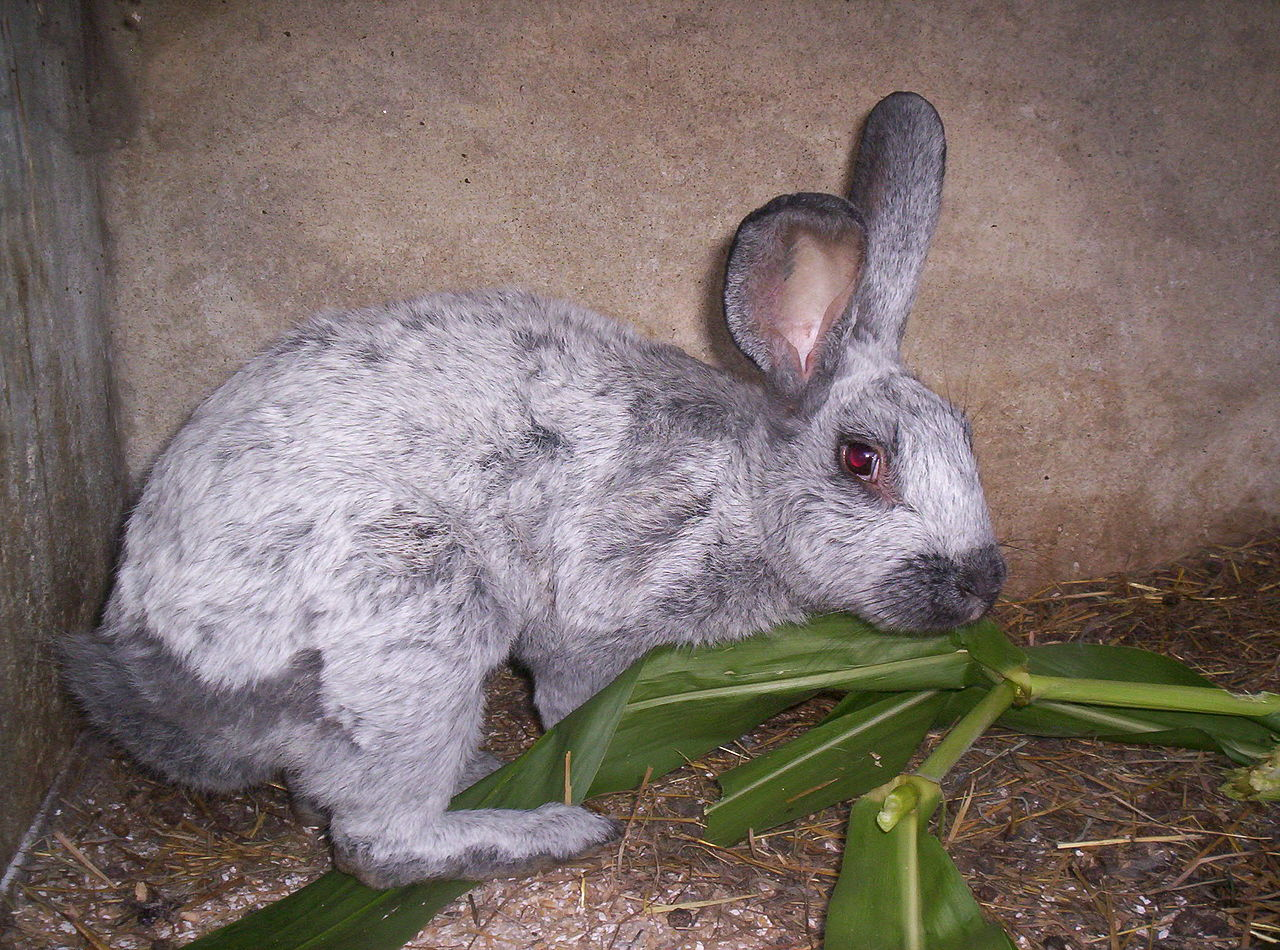 Champagne D'Argent Rabbit. Image by: Ben23 From Wikimedia Commons, the free media repository