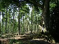 Larch, beech and holly near Ideford Common - geograph.org.uk - 1371397.jpg
