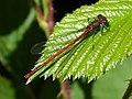 Large Red Damselfly. Male. Pyrrhosoma nymphula (34516763502).jpg