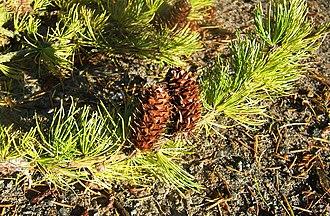 Larix occidentalis - Leaves and mature cones