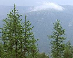 Larix sibirica Urals.jpg