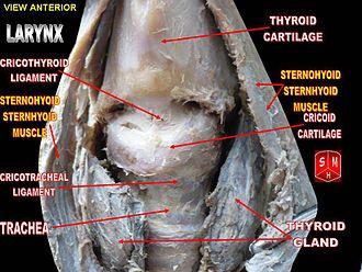 Cricotracheal ligament - Cricotracheal ligament