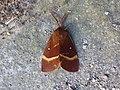 Lasiocampa quercus Santa Fiora 03.jpg