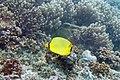 Latticed butterflyfish Chaetodon rafflesi (5810087909).jpg