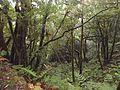Laurisilva dentro de La Ensillada en La Reserva natural integral del Pijaral.JPG