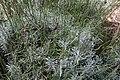 Lavandula angustifolia Grosso 5zz.jpg