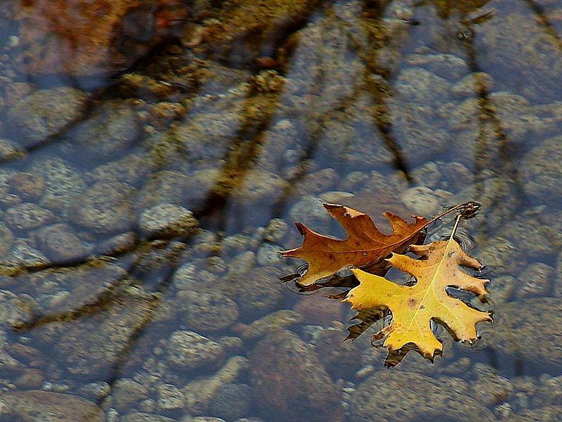 File:Leaf leaves streams water reflections.jpg