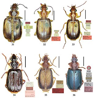 Lebiinae Subfamily of beetles