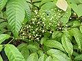 Leea indica-2-thenmala-kerala-India.jpg