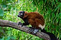 Lemur (36218448880).jpg