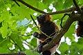 Lemur (36218450760).jpg