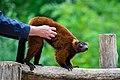 Lemur (36615115415).jpg