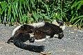 Lemur (36693219010).jpg