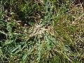 Leontodon saxatilis - Belle Île en Mer - feuilles en rosette.jpg