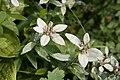Leontopodium japonicum 15.jpg