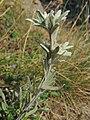 Leontopodium nivale (alpinum) (36733291481).jpg