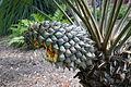 Lepidozamia peroffskyana cone.jpg
