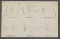 Leptomastix - Print - Iconographia Zoologica - Special Collections University of Amsterdam - UBAINV0274 046 11 0007.tif