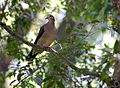 Leptotila rufaxilla -in tree-8.jpg