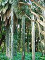 Les palmiers - Jardin d'essai El Hamma - Alger.JPG