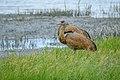 Lesser Sandhill Cranes (42603739414).jpg
