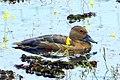 Lesser Whistling Duck (ചെറിയ ചൂളന് എരണ്ട) (8708732627).jpg