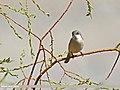 Lesser Whitethroat (Sylvia curruca) (27750170495).jpg