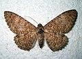 Letis xylia - Bolivia (North Yungas) - 2010 (5483484910).jpg