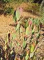 Leucadendron discolor 'Pom Pom' - San Luis Obispo Botanical Garden - DSC05893.JPG
