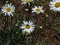 Leucanthemum × superbum (2558411453).jpg