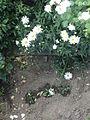 Leucanthemum vulgare 99.JPG