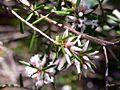Leucopogon ericoides St Ives.jpg