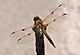 Libellula quadrimaculata qtl2.jpg