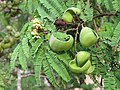 Libidibia coriaria - Divi-divi Tree - Caesalpinia coriaria - WikiSangamotsavam 2018, Kottappuram, Kodungalloor (8).jpg