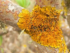 Lichen on Tabaiba, Gran Canaria MP.jpg