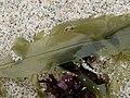 Ligulata flat out2.jpg