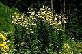 Lil ciliatum 02aHab Tuerkei Ziganapass 30 06 93.jpg